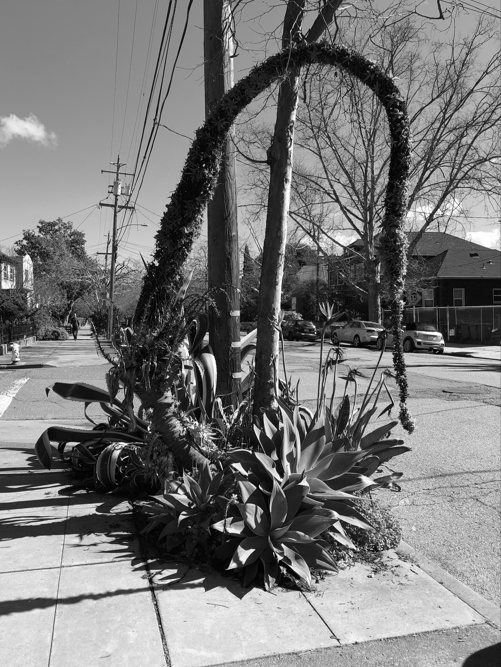 an agave attenuata plant and its flower