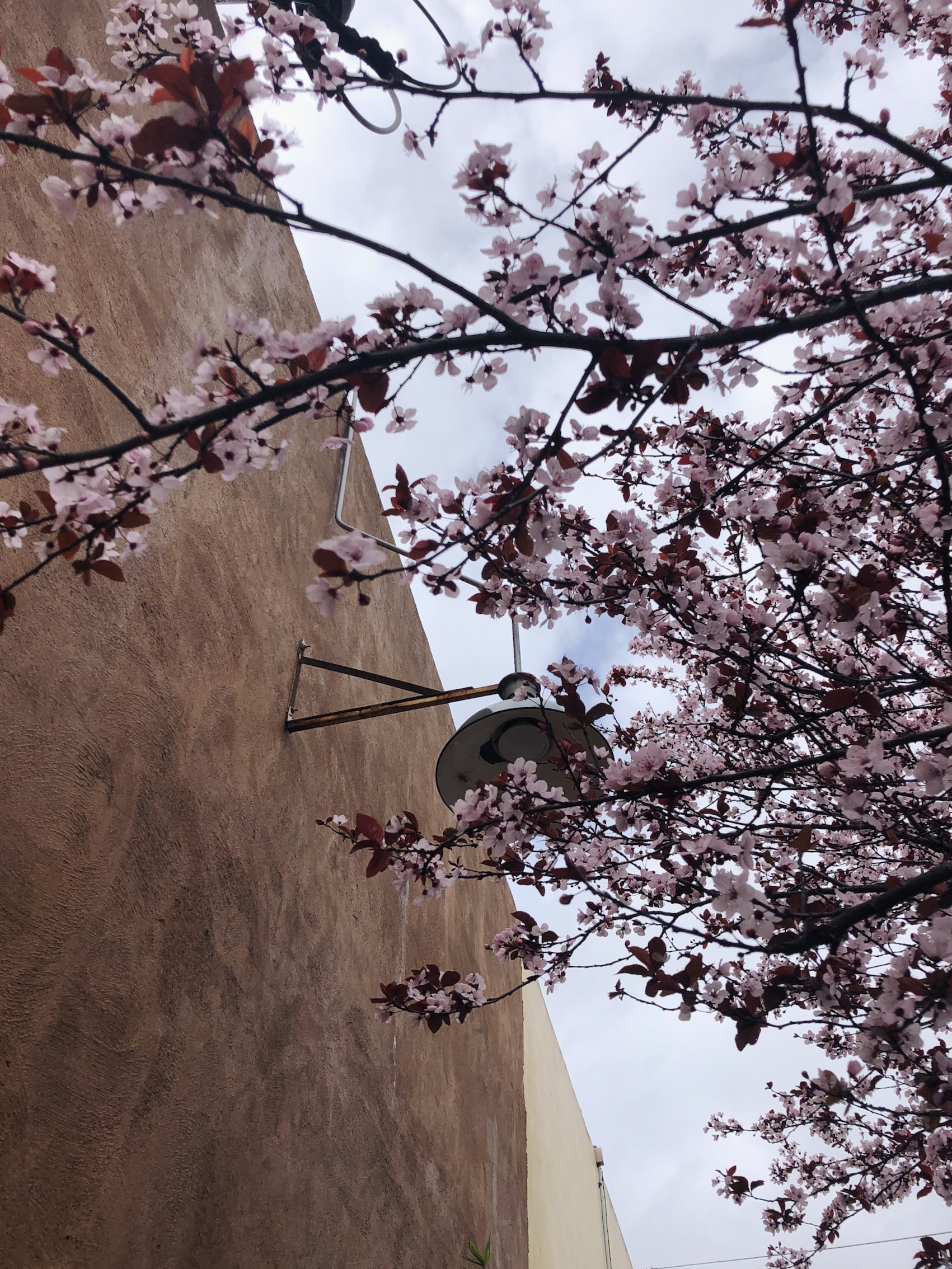 pink cherry blossoms against a brown wall